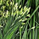 USA Seller 150 of Garlic Chive Seeds, Herb, Allium Tuberosum, Heirloom, NON-GMO, , FREE SHIP