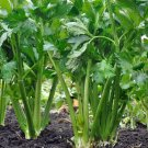 USA Seller 1000 of all Utah 52/70 Celery Seeds, NON-GMO, Heirloom, Variety Sizes, FREE SHIP