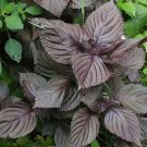 USA Seller 350 of Shiso Seeds, Purple Perilla, Japanese Basil, Red Mint, NON-GMO, Variety Sizes