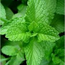 USA Seller 300 of Peppermint Herb Seeds, Mentha piperita, Herbal and Medicinal Tea, FREE SHIP