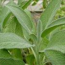USA Seller 25 of Broadleaf Sage, Salvia Officinalis, NON-GMO, Variety Sizes, FREE SHIP