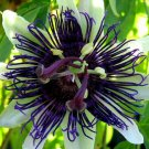 USA SELLER 10 of White Dark Purple Passion Flower Seeds Passiflora Tropical Climbing Exotic