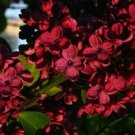 USA SELLER 25 of Red Lilac Seeds Tree Fragrant Hardy Perennial Flower Shrub Garden Plant Tree