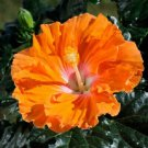 USA SELLER 20 of Rare Yellow Orange Hibiscus Seeds Perennial Hardy Flower Garden Exotic Seed