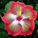 USA SELLER 20 of Rare White Pink Red Hibiscus Seeds Perennial Hardy Flower Garden Exotic Seed