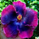 USA SELLER 20 of Rare Blue Pink Purple Hibiscus Seeds Perennial Hardy Flower Garden Exotic Seed