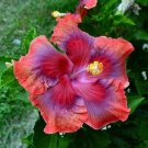 USA SELLER 20 of Rare Red Pink Purple Hibiscus Seeds Perennial Hardy Flower Garden Exotic Seed
