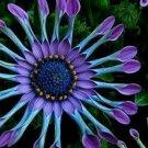 USA SELLER 25 of Blue Purple Seeds Osteospermum Flower African Mix Flower Exotic Garden Seed