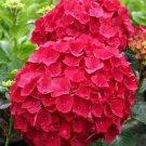 USA SELLER 5 of Red Hydrangea Seeds Perennial Hardy Garden Shrub Bloom Flower Plant Yard Bush