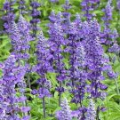 50 of Salvia- Blue Victory Seed- 50% off SALE