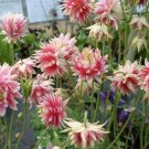 50 of Columbine- Nora Barlow Seeds- NISWAH 50% off SALE