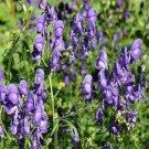 25 of Monkshood- Aconitum Napellus Seeds- NISWAH 50% off SALE