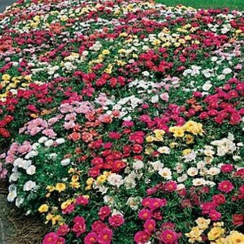 200 of Moss Rose Mix Seeds- NISWAH 50% off SALE