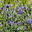 25 of Globe Thistle- (EchinopsRitro)- Blue Seeds- NISWAH 50% off SALE