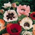 500 of Poppy-Pizzicato Mix Seeds- NISWAH 50% off SALE