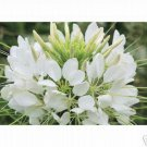 100 of Cleome- Spider White Seeds- NISWAH 50% off SALE