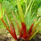 25 of Rhubarb- Victoria(Rheum) Seeds- NISWAH 50% off SALE