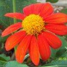 50 of Sunflower- Mexican Orange- Tithonia Speciosa Seeds- NISWAH 50% off SALE