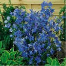 40+ of Delphinium / Larkspur- Butterfly blue Seeds- NISWAH 50% off SALE