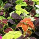 100 of Coleus- Rainbow Mix Tree Seeds- NISWAH 50% off SALE
