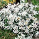 100 of Edelweiss- Leontonpodium Tree Seeds- NISWAH 50% off SALE