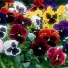 50 of Pansy- St Ravel Mix Tree Seeds- NISWAH 50% off SALE
