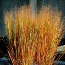 250 of Dacotah Switch Grass Tree Seeds- NISWAH 50% off SALE