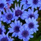 25 of Blue Daisy-Felicia Heterophylla Blue Tree Seeds- NISWAH 50% off SALE