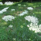 500 of Queen Anne's Lace Tree Seeds- NISWAH 50% off SALE