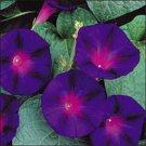100 of Morning Glory- Grandpa Ott Tree Seeds- NISWAH 50% off SALE