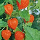 50 of Chinese Lantern Tree Seeds- NISWAH 50% off SALE
