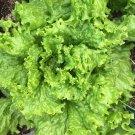 500 of Grand Rapids Lettuce TBR, Garden Salad Greens, NON-GMO, FREE SHIP