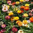 200 of Strawflower- Tom Thumb Mix Tree Seeds- NISWAH 50% off SALE