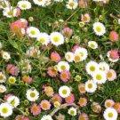 50 of Erigeron Karvinskianus Profusion Tree Seeds- NISWAH 50% off SALE