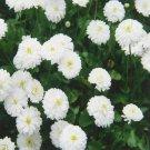 200 of Yarrow- The Pearl Tree Seeds- NISWAH 50% off SALE