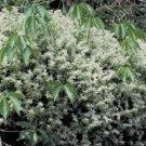 50 of Sedum- Glaucophyllum Tree Seeds- NISWAH 50% off SALE
