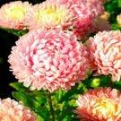 50 of Aster - Peony Duchess Pink Tree Seeds- NISWAH 50% off SALE