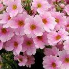 50 of Primrose-Fairy- Primula Malacoides- Pink Tree Seeds- NISWAH 50% off SALE