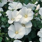 50 of Rose Mallow- Lavetera- Mont Blanc Tree Seeds- NISWAH 50% off SALE