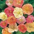 50 of Abutilon-Flowering Maple- Bellvue Mix Tree Seeds- NISWAH 50% off SALE