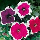 100 of Petunia-Picotee Mix Tree Seeds- NISWAH 50% off SALE