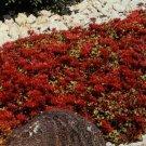 100 of Sedum- Dragon's Blood Tree Seeds- NISWAH 50% off SALE