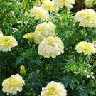 25 of Marigold- Tagetes Erecta- White Tree Seeds- NISWAH 50% off SALE