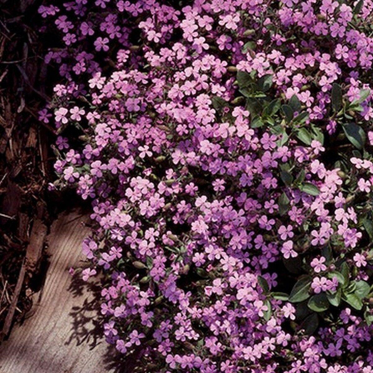100 of Soapwort (Saponaria)- Pink Tree Seeds- NISWAH 50% off SALE