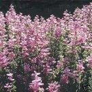 100 of Salvia- Pink Sundae Seeds- NISWAH 50% off SALE