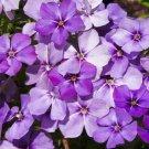 50 of Phlox- Blue Beauty- (Drummondii Compacta) Tree Seeds- NISWAH 50% off SALE