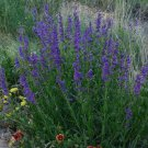 100 of Penstemon- Rocky Mountain Tree Seeds- NISWAH 50% off SALE