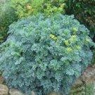 25 of Rue- (Ruta Graveolens) Tree Seeds- NISWAH 50% off SALE