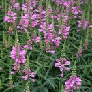 50 of Obedient plant- Physostegia- Pink Tree Seeds- NISWAH 50% off SALE