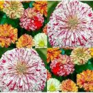 100 of Zinnia- Candy Striped Tree Seeds- NISWAH 50% off SALE